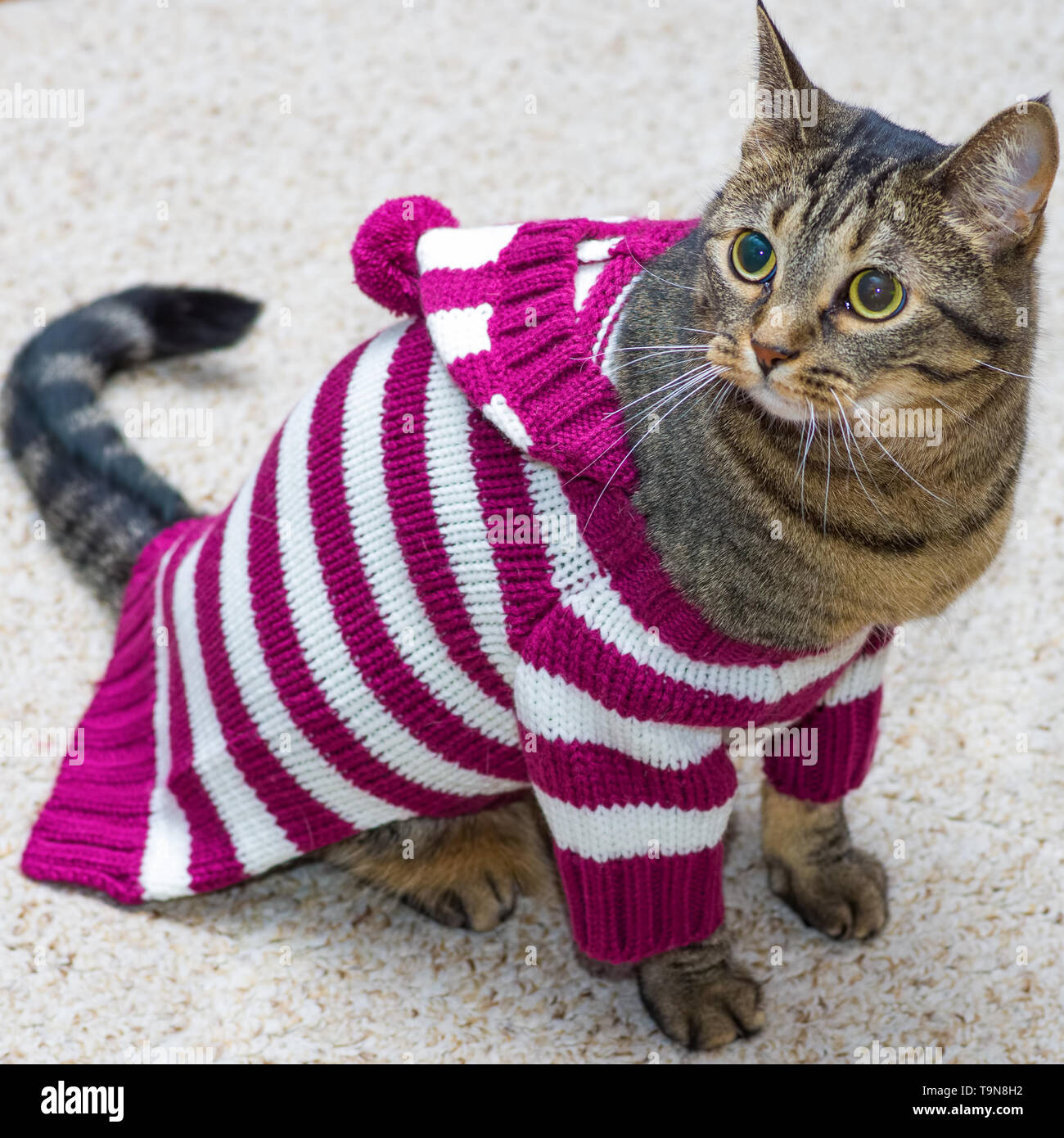 Kitten Christmas Sweater.Kitten Wearing Sweater Stock Photos Kitten Wearing Sweater