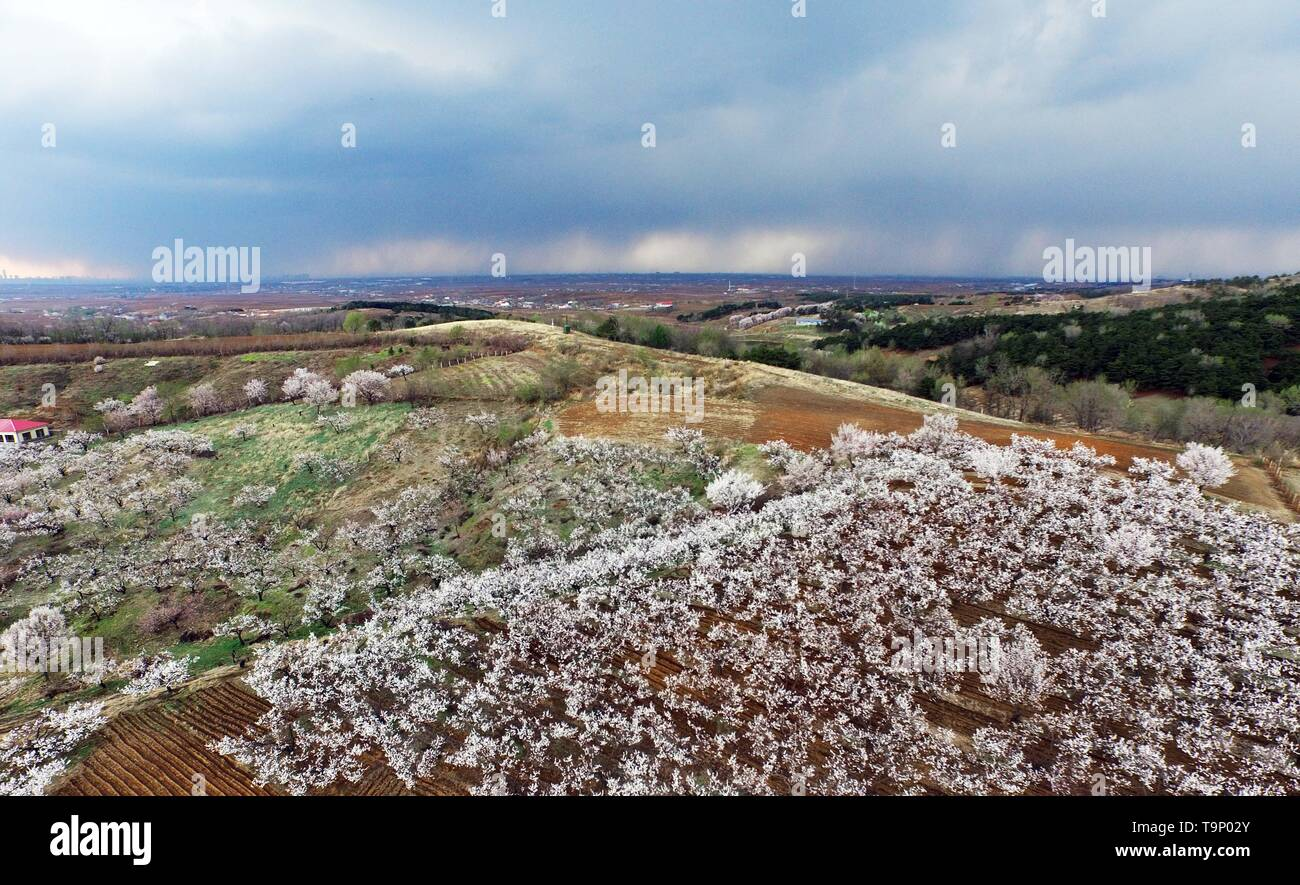 (190520) -- BEIJING, May 20, 2019 (Xinhua) -- Aerial photo taken on April 18, 2019 shows apricot flowers in Hunnan District of Shenyang, northeast China's Liaoning Province. Liaoning Province is located in the southern part of Northeast China, with the Bohai Sea and the Yellow Sea lying to its south. Over the years, the provincial government has prioritized ecological development and set environmental improvement at the core of its agenda. The province's ecological conditions have been improving thanks to systematic conservation of the natural environment, overall management of the rural envir - Stock Image
