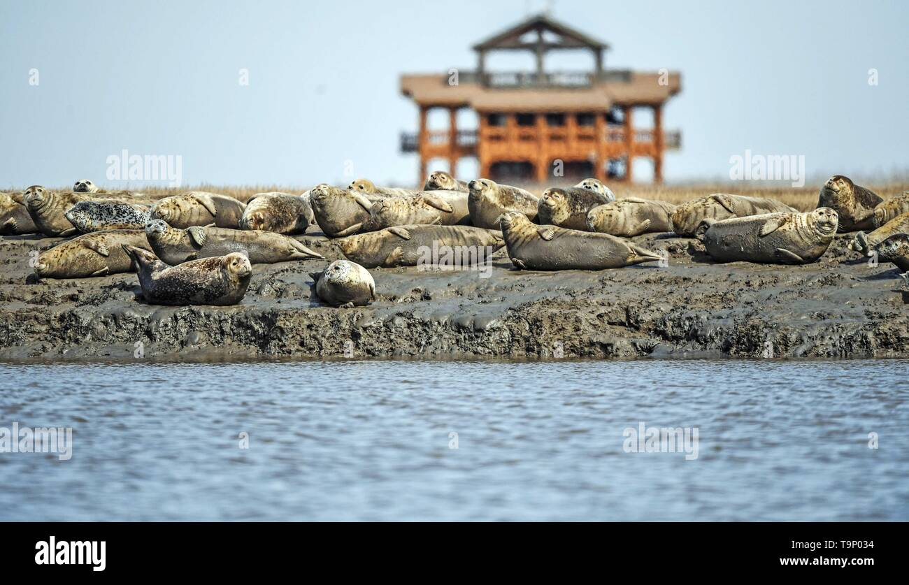 (190520) -- BEIJING, May 20, 2019 (Xinhua) -- Spotted seals are pictured at the Liaohe River estuary in Panjin, northeast China's Liaoning Province, March 28, 2019. Liaoning Province is located in the southern part of Northeast China, with the Bohai Sea and the Yellow Sea lying to its south. Over the years, the provincial government has prioritized ecological development and set environmental improvement at the core of its agenda. The province's ecological conditions have been improving thanks to systematic conservation of the natural environment, overall management of the rural environment, a Stock Photo
