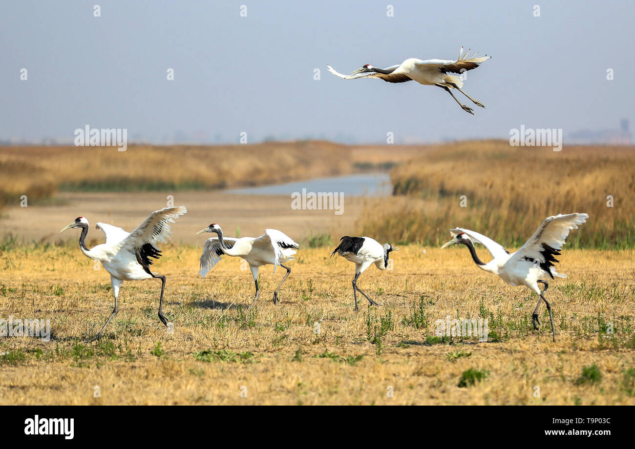 (190520) -- BEIJING, May 20, 2019 (Xinhua) -- Several red-crowned cranes are pictured at a breeding center for crane species in Panjin, northeast China's Liaoning Province, May 9, 2019. Liaoning Province is located in the southern part of Northeast China, with the Bohai Sea and the Yellow Sea lying to its south. Over the years, the provincial government has prioritized ecological development and set environmental improvement at the core of its agenda. The province's ecological conditions have been improving thanks to systematic conservation of the natural environment, overall management of the - Stock Image