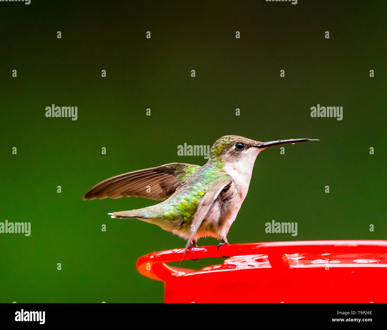 Female Ruby-Throated Hummingbird balancing on a feeder with nectar still dripping off of her beak. - Stock Image