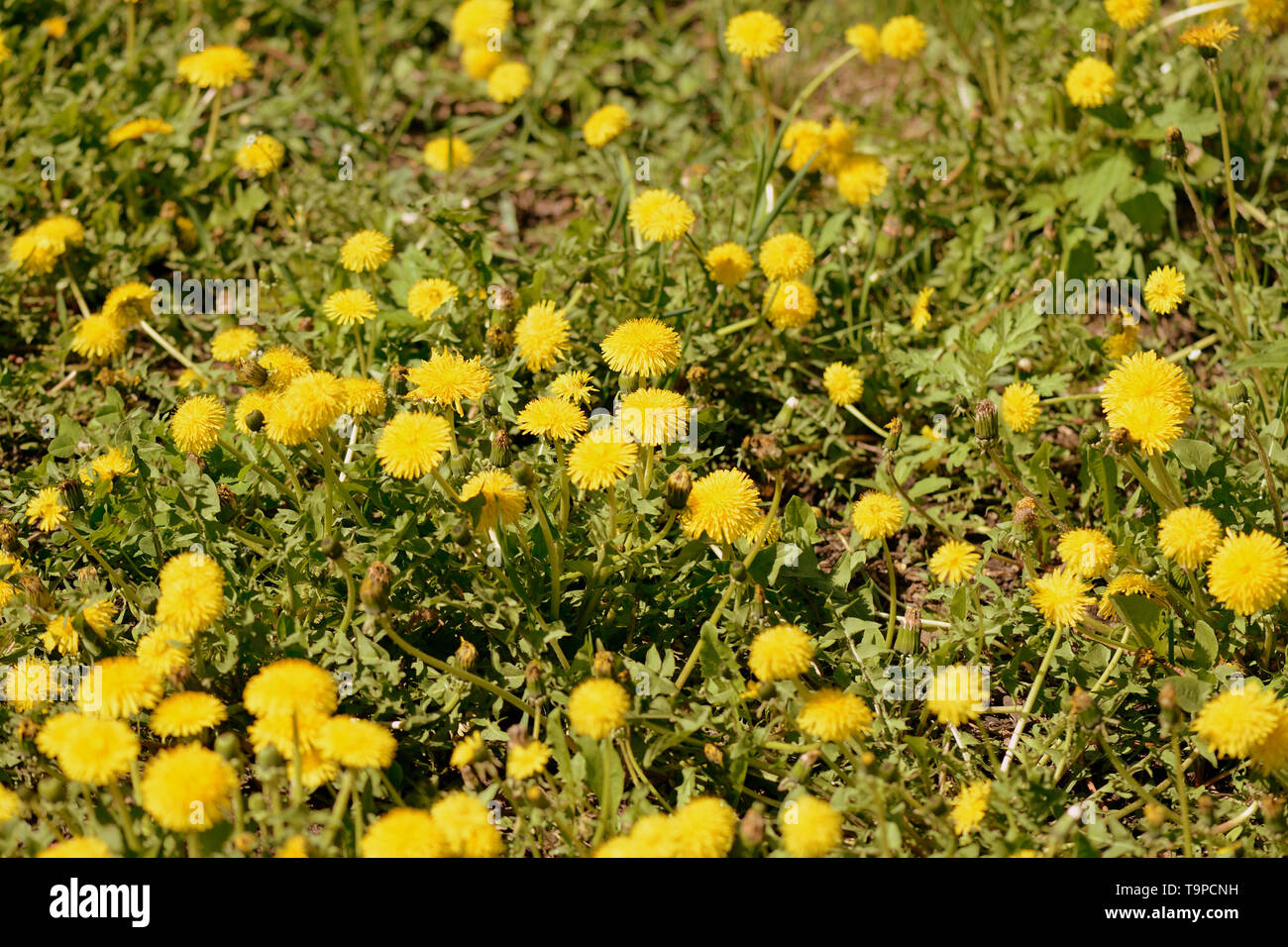 Yellow dandelions on a green lawn on a sunny day. Retro style toned - Stock Image