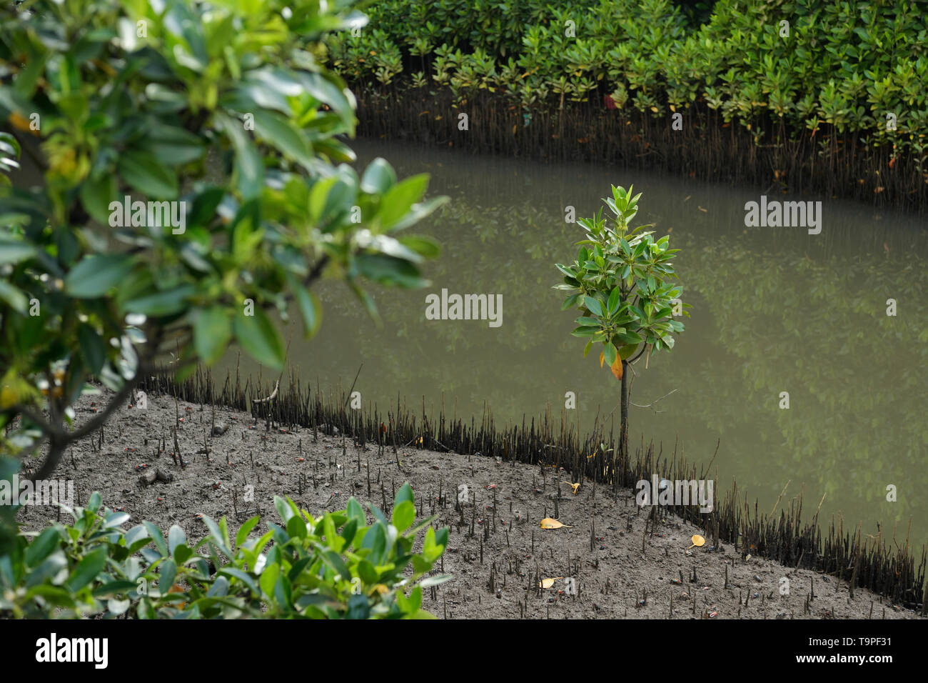 Seedling of Black Mangrove tree, Bruguiera gymnorrhiza, growing in pencil roots of White Mangrove trees, Umgeni river estuary, Durban, South Africa - Stock Image