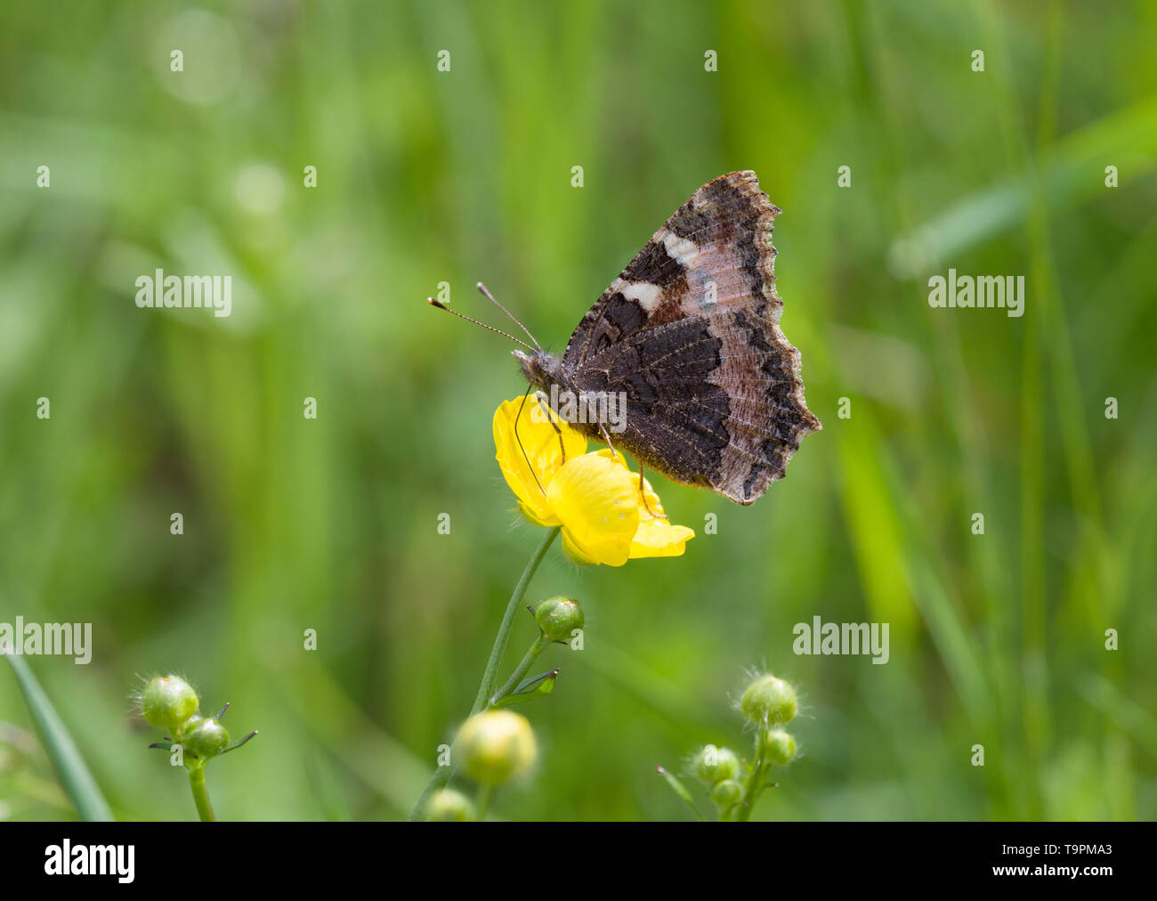 Small Tortoiseshell, Aglais urticae, single adult feeding on Buttercuop in grassland, Worcestershire, UK - Stock Image