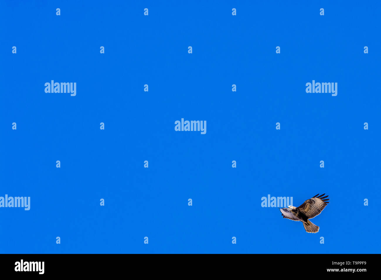 Blue background with lots of open space and a buzzard - Stock Image