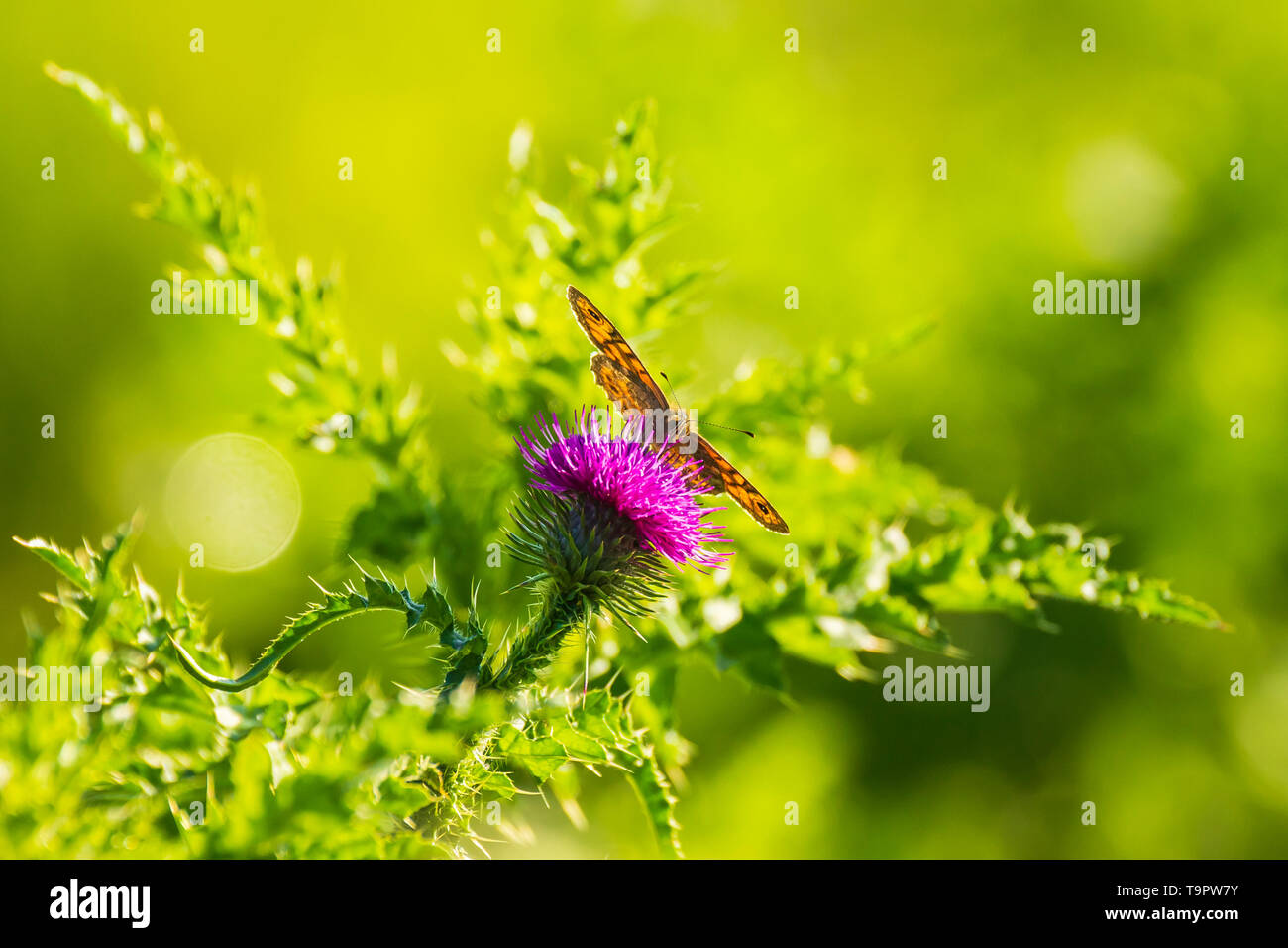 Wall Brown butterfly Lasiommata megera, feeding on pink thistle flowers in a meadow. Beautiful colors and sunlight - Stock Image