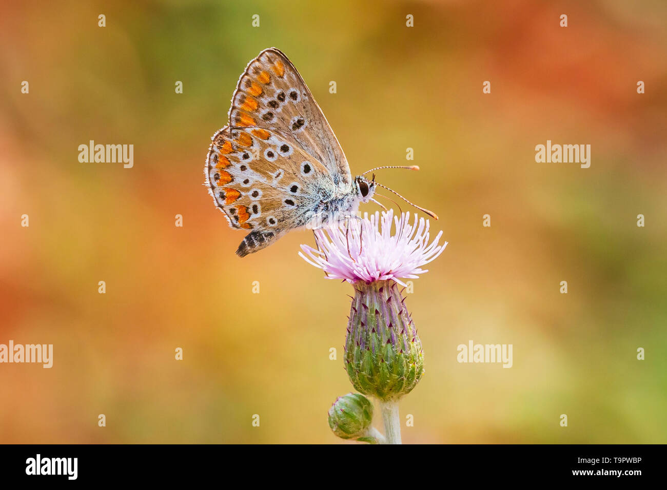 small brown hairstreak butterfly Thecla betulae and feeding nectar on a flower - Stock Image