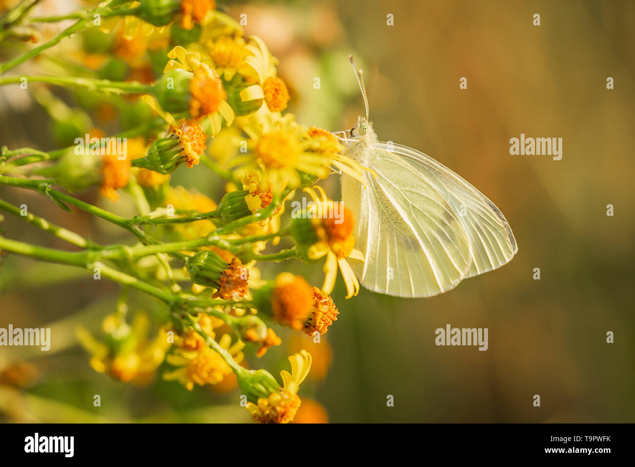 Closeup side view of a Pieris brassicae, the large white or cabbage butterfly pollinating on yellow ragwort flowers Jacobaea vulgaris - Stock Image
