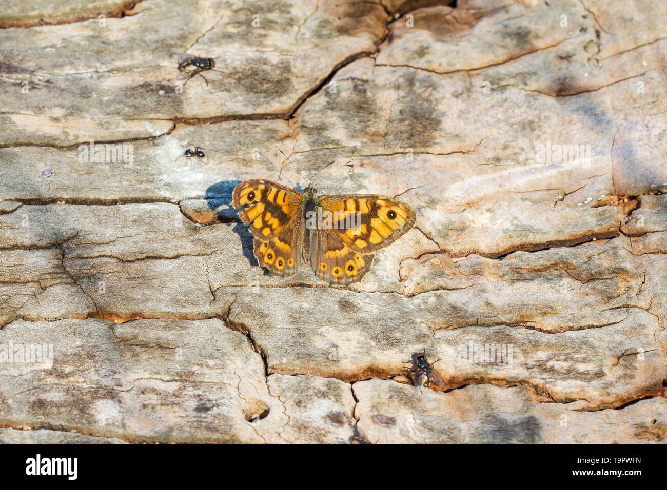 Wall Brown butterfly Lasiommata megera resting on wood in bright sunlight - Stock Image