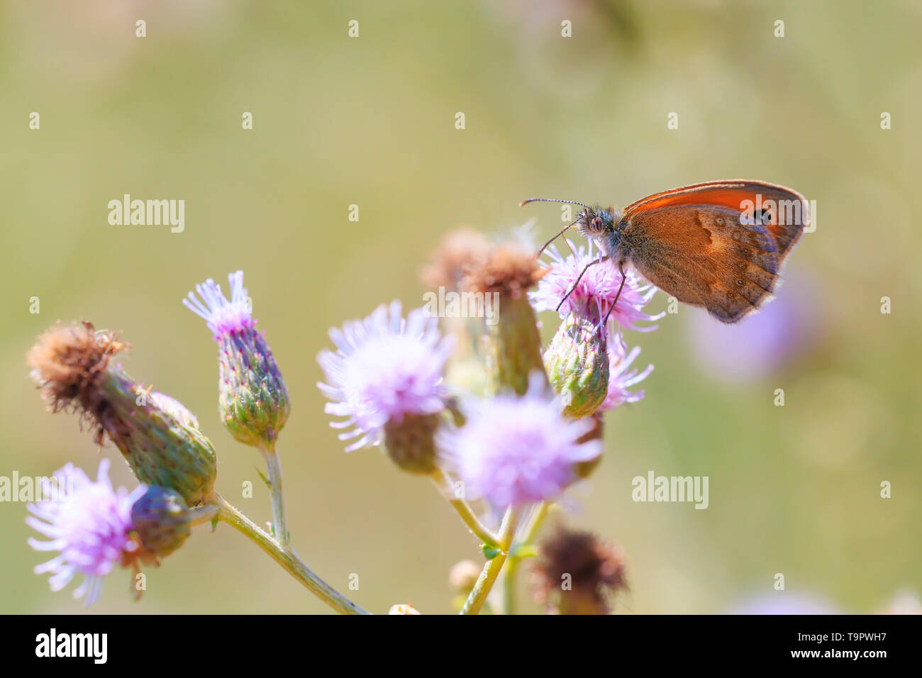 Side view wings close up of a Meadow Brown butterfly (Maniola jurtina) feeding on a purple Thistle flower - Stock Image