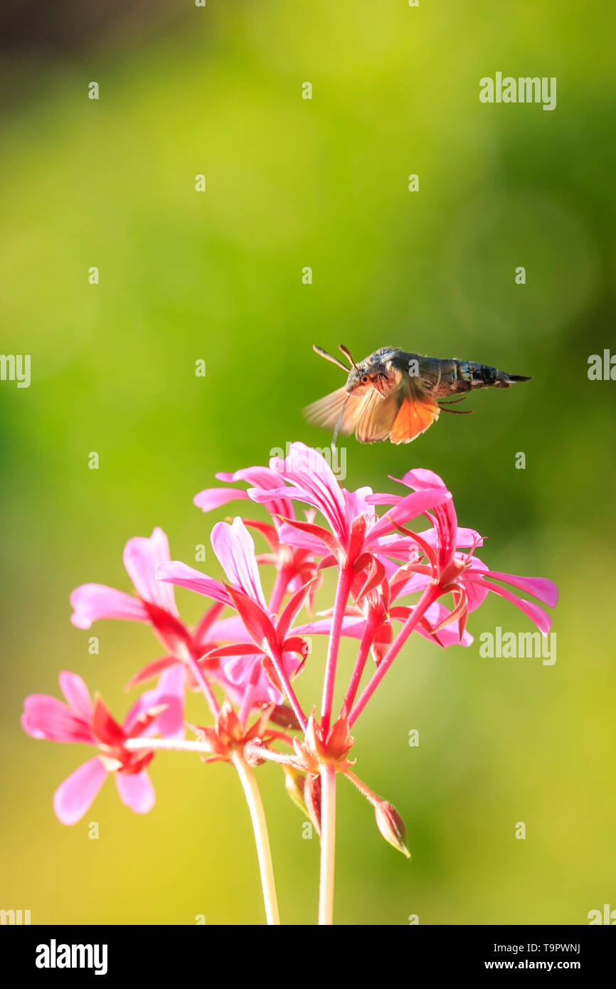 Side view of a hummingbird hawk-moth (Macroglossum stellatarum) feeding on a pink flower in a vibrant meadow - Stock Image