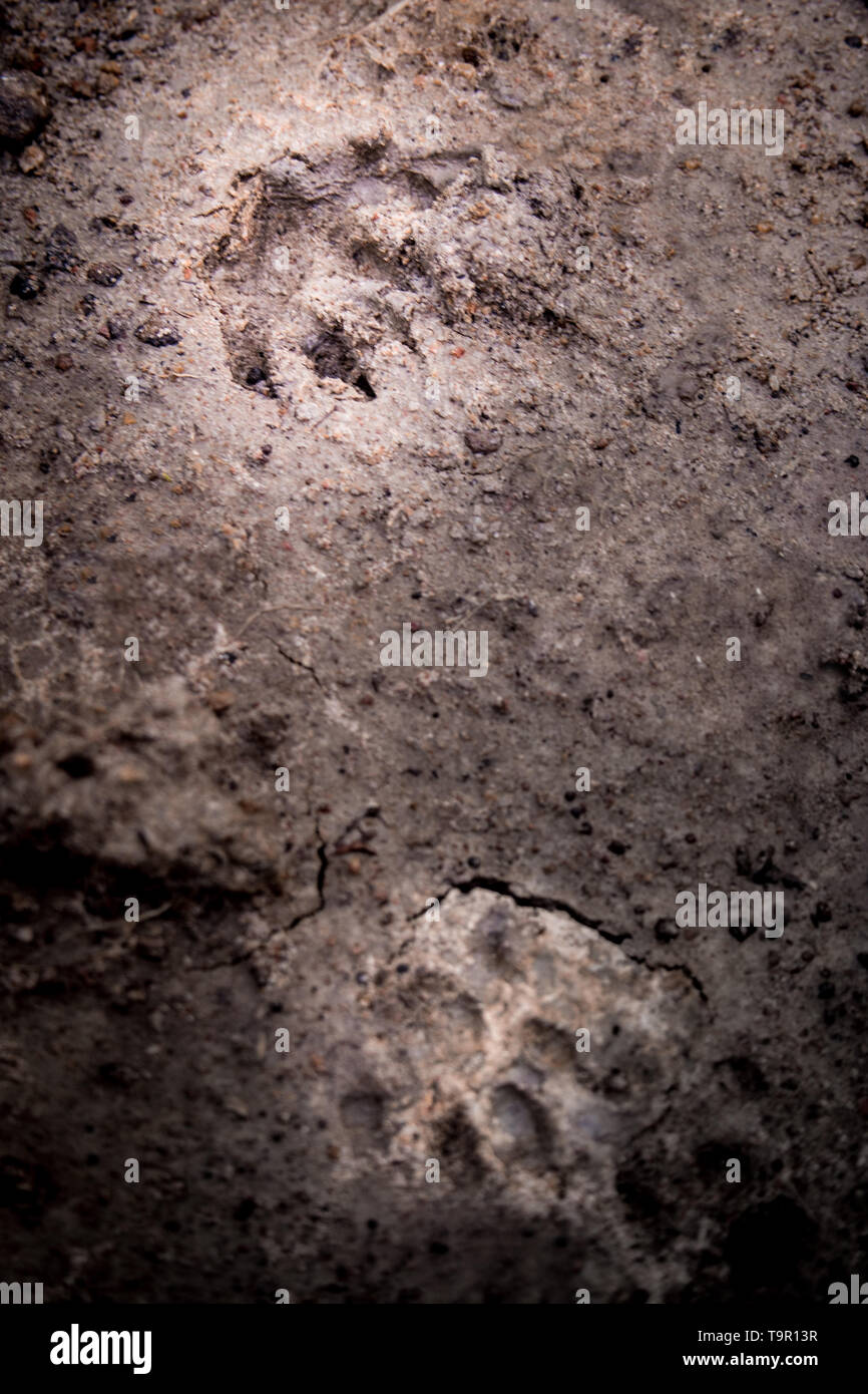 Wild animal footprint tread on soft soil ground - Stock Image