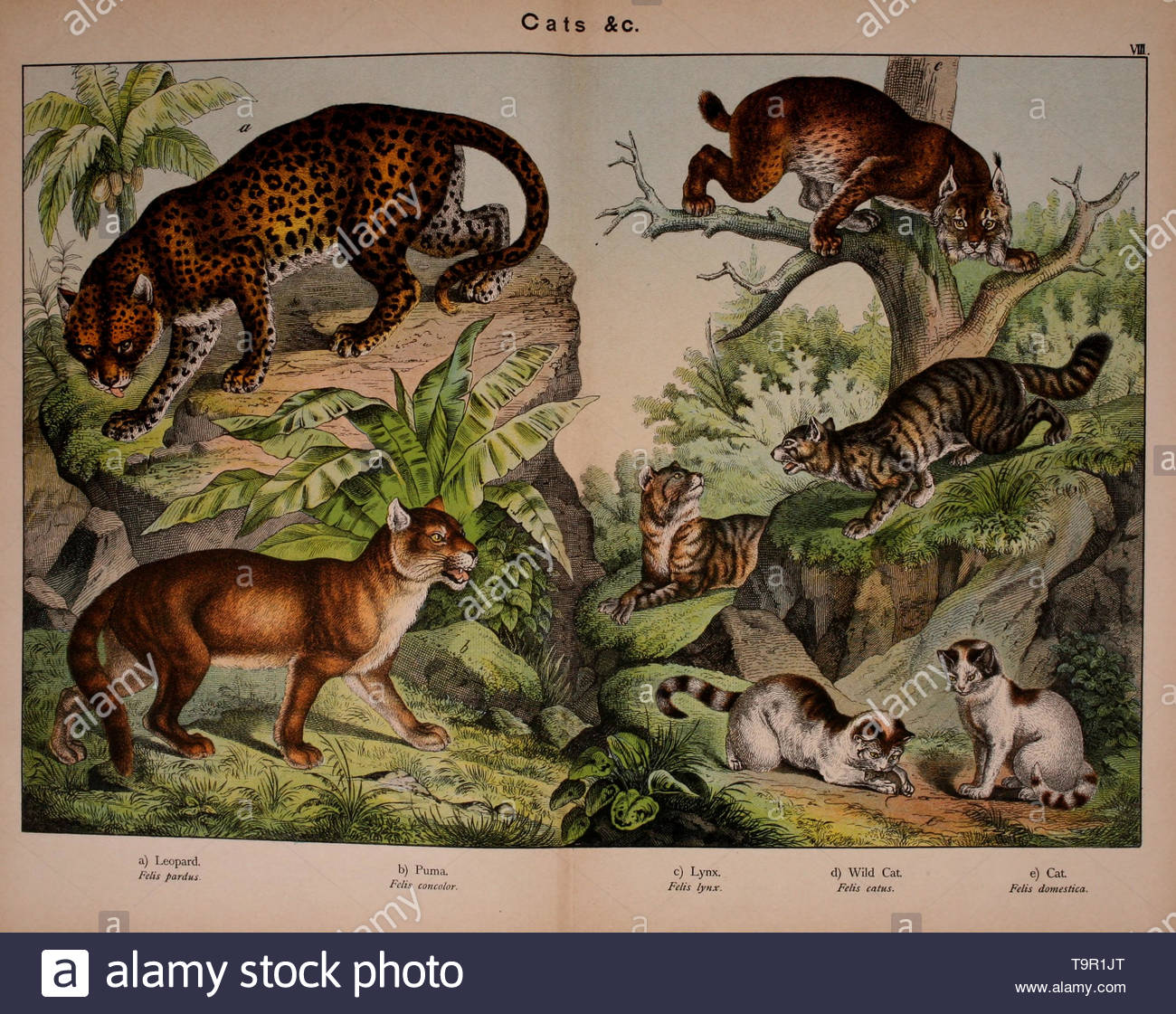 Kirby, W-Cats from Natural history of the animal kingdom for the use of young people. - Stock Image