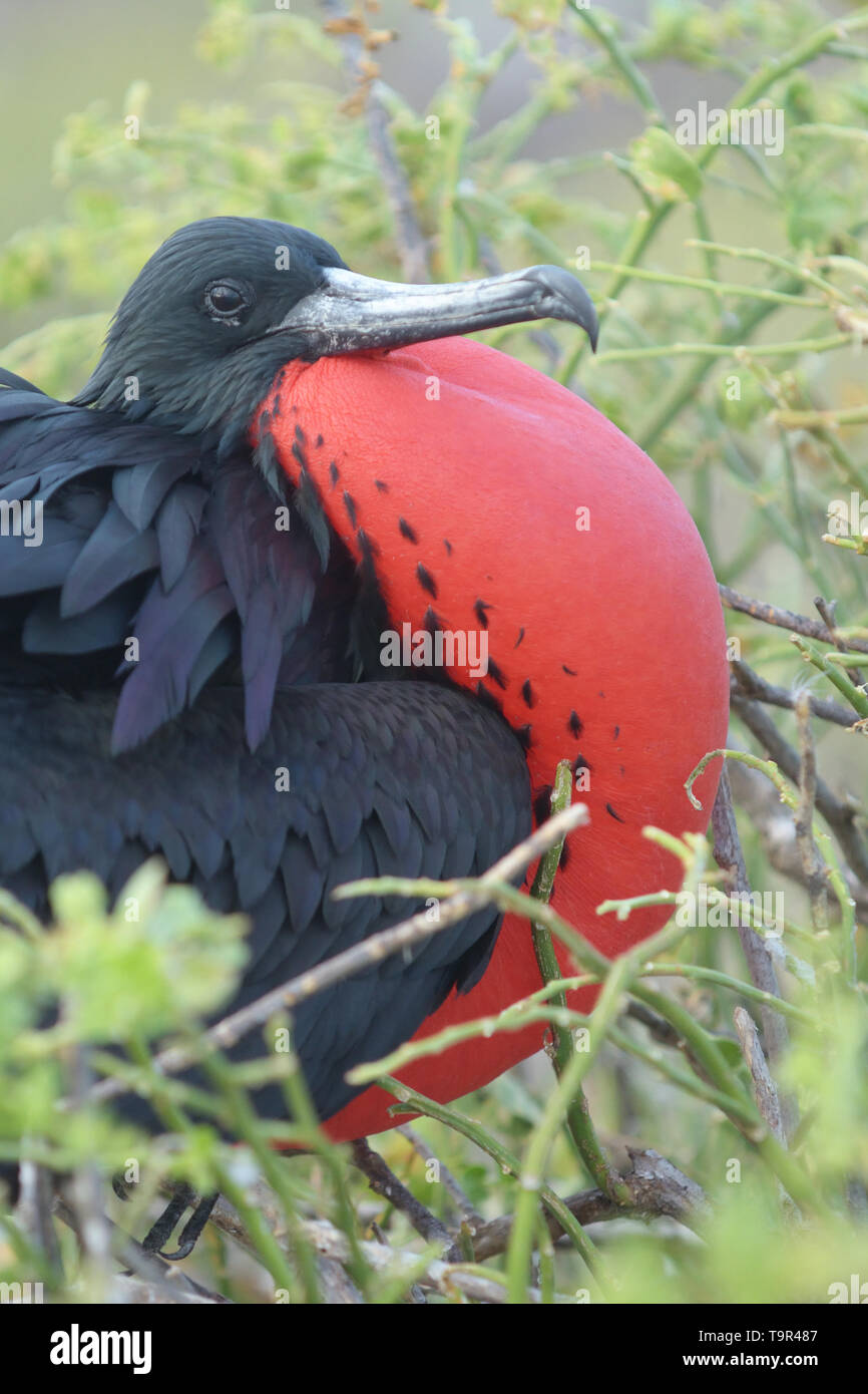 Male Magnificent Frigatebird (Fregata magnificens) displaying with inflated red gular sac on North Seymour Island in the Galapagos Islands - Stock Image
