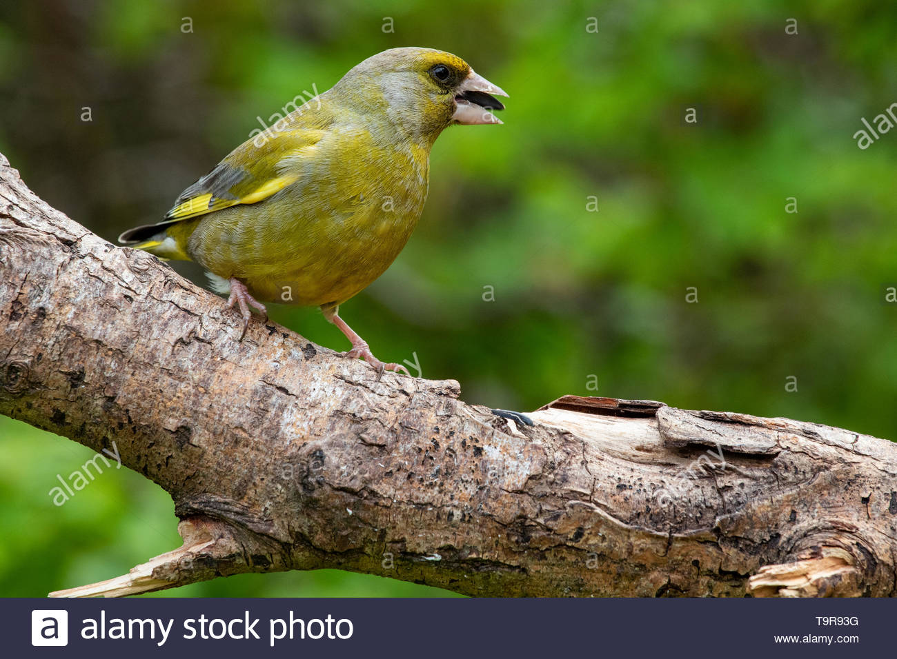 Greenfinch (Carduelis chloris) on tree branch - Stock Image