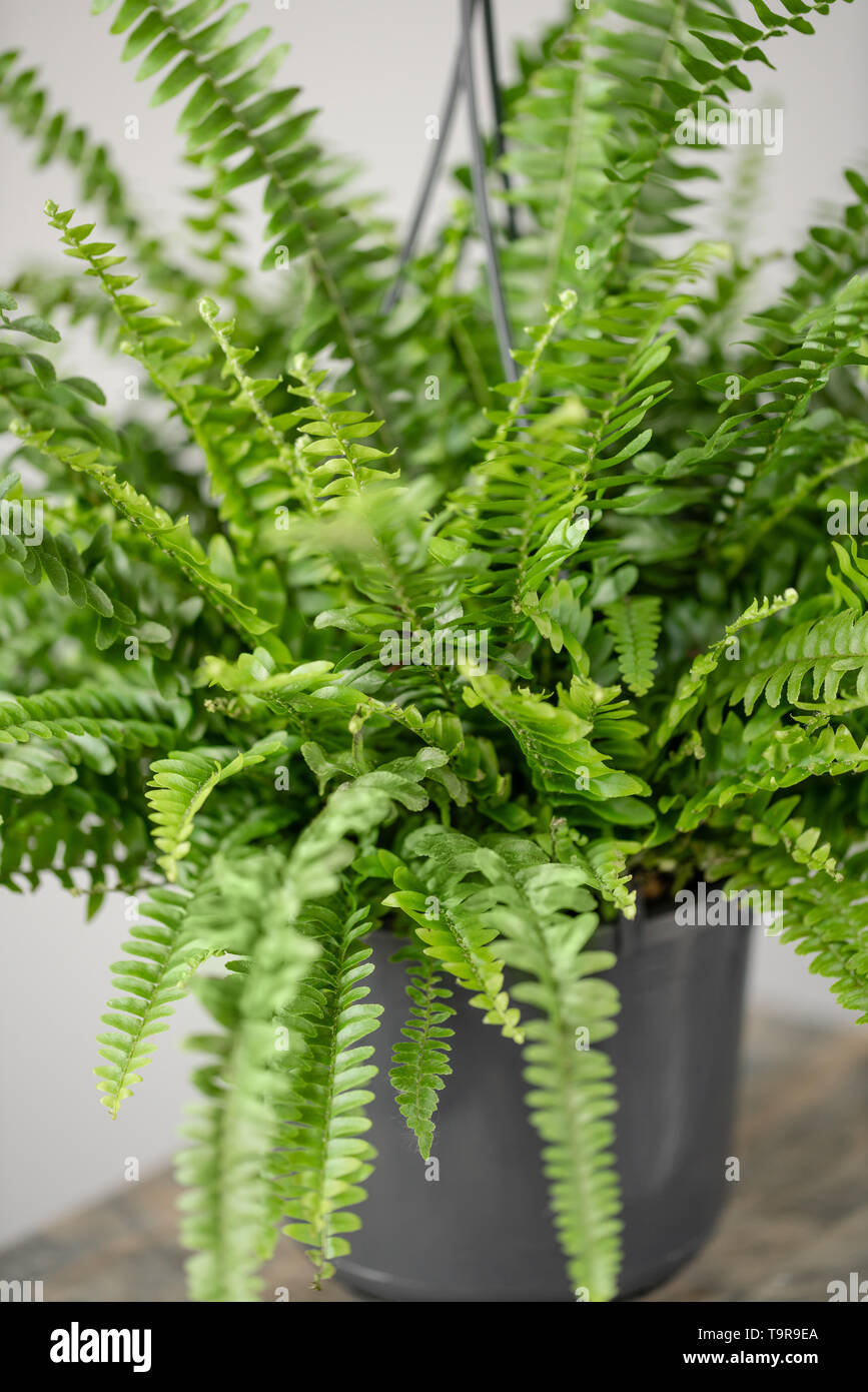 Nephrolepis Plants Fern Stylish Green Plant In Ceramic Pots On Wooden Vintage Stand On Background Of Gray Wall Modern Room Decor Sansevieria Stock Photo Alamy