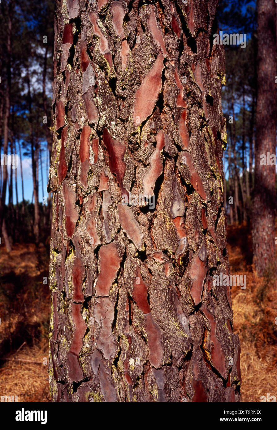 France, Natural History, Close up shot of the colours and bark on the tree trunk of a Maritime Pine Tree (Pinus Pinaster) South West Forests of Aquitaine. - Stock Image
