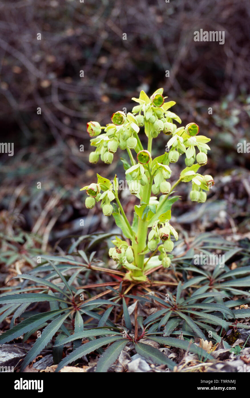 France, Natural History, Close up shot of Plant Stinking Hellebore ( Helleborus Foetidus) - Stock Image