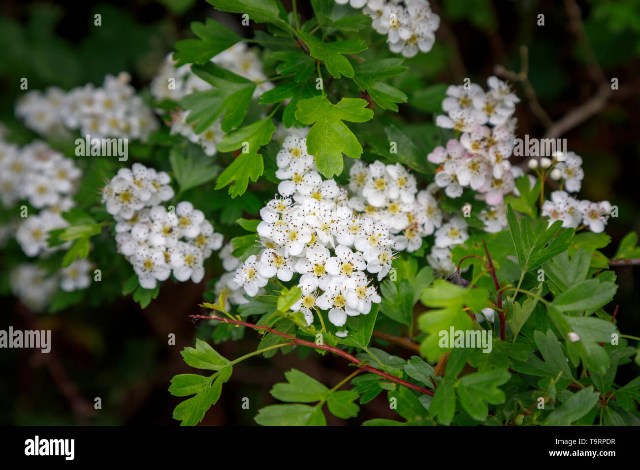 Hawthorn (crataegus) flowering in late spring / early summer in Test Valley, Southampton, Hampshire, southern England, UK Stock Photo