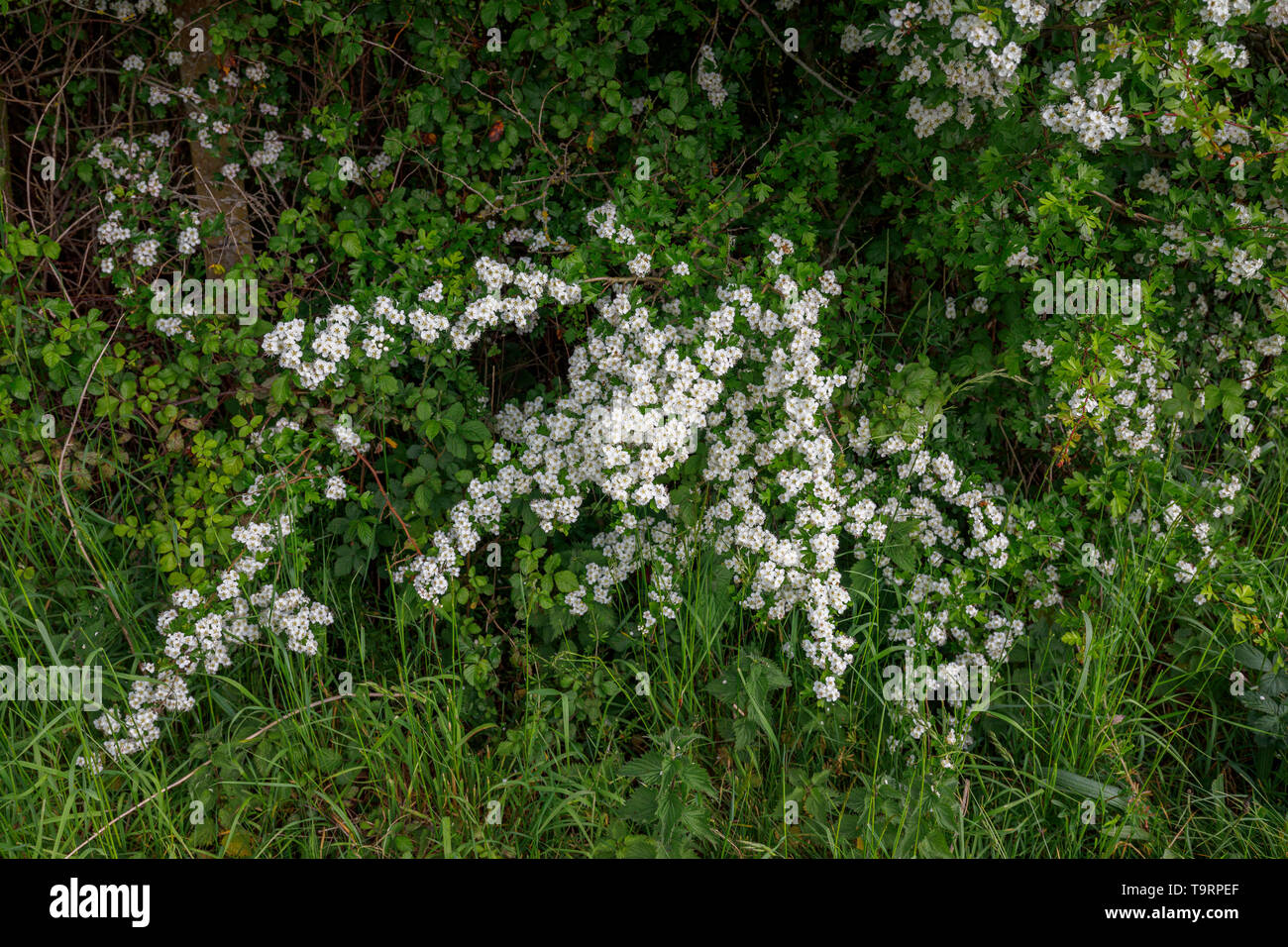 Hawthorn (crataegus) flowering in late spring / early summer in Test Valley, Southampton, Hampshire, southern England, UK - Stock Image