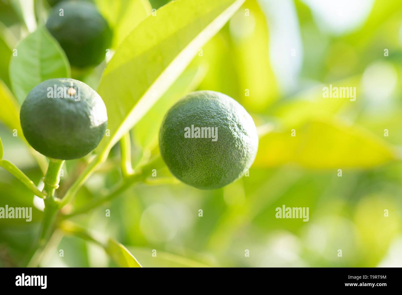 fresh green oranges on tree Stock Photo