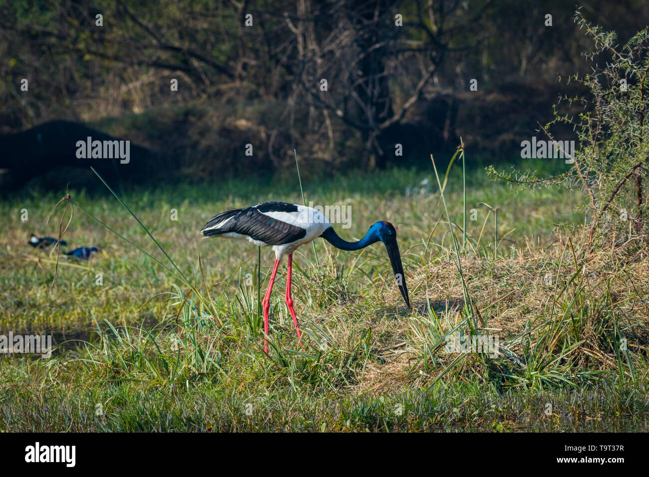 An alert male Black-necked stork searching for bird to kill in a winter morning at wetland of keoladeo national park, bharatpur, india - Stock Image