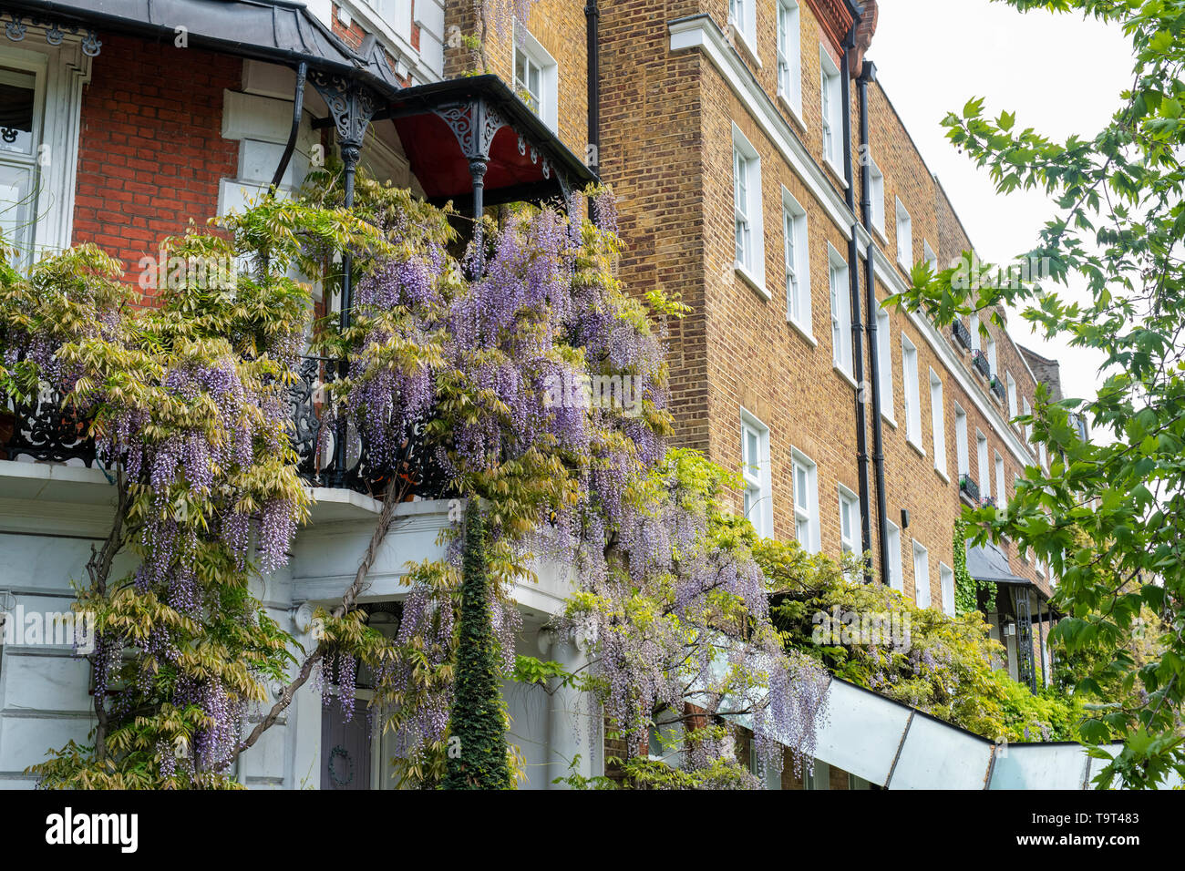Wisteria on a house in Cheyne Walk, Chelsea, London, England - Stock Image