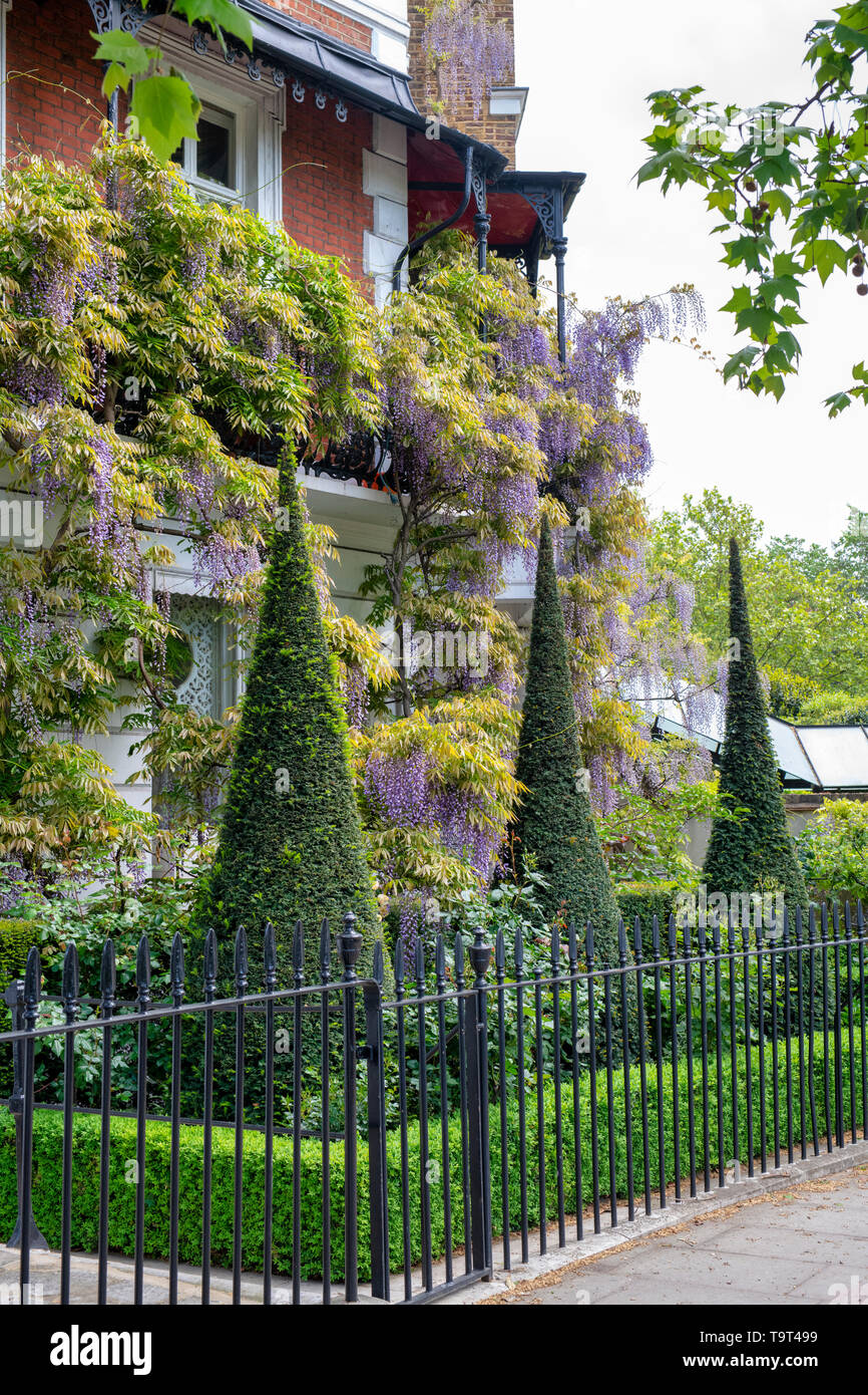 Conical topiary in the front garden with Wisteria on the house in Cheyne Walk, Chelsea, London, England - Stock Image
