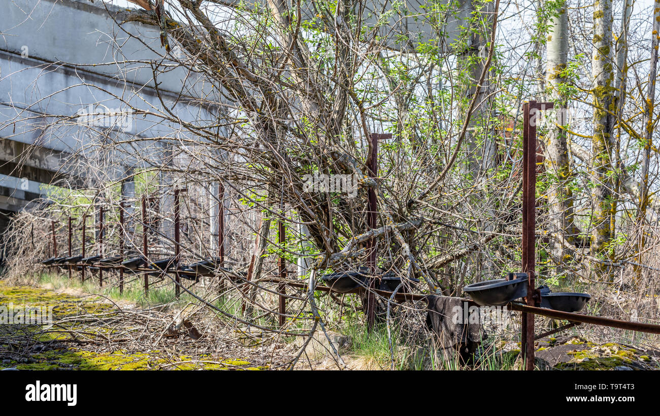 Remains of an abandoned farm stable overgrown with bushes and trees  in Chernobyl disaster area in Belarus - Stock Image