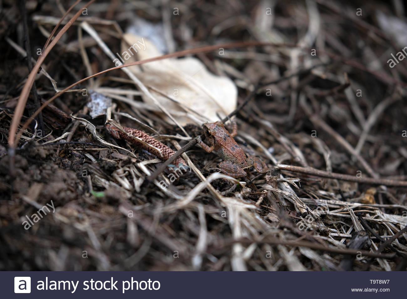 Lesser Antillean Whistling Frog - Stock Image