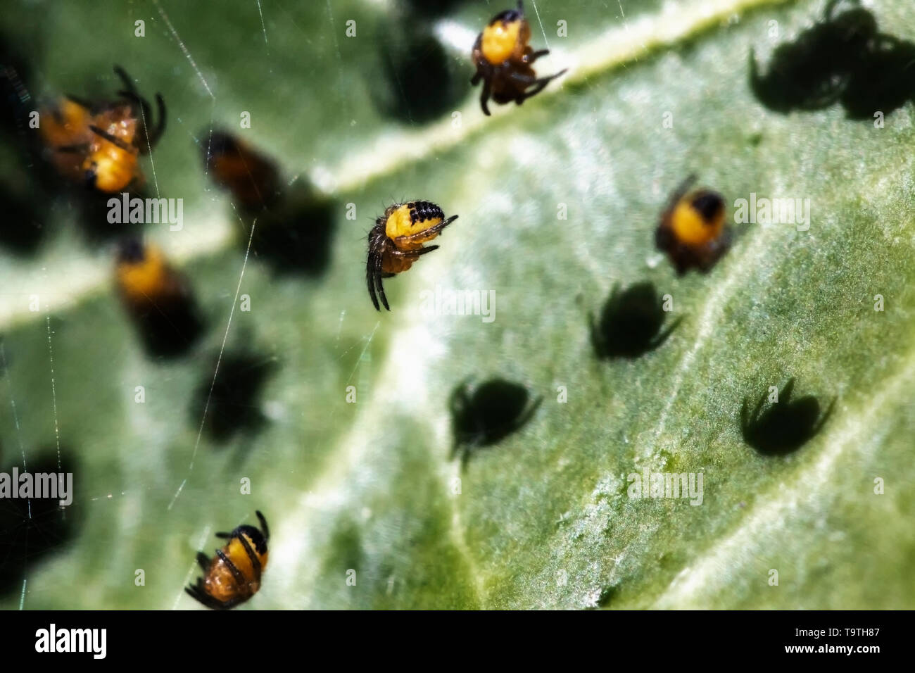 Juvenile orb-weaving spiders on a web - Stock Image
