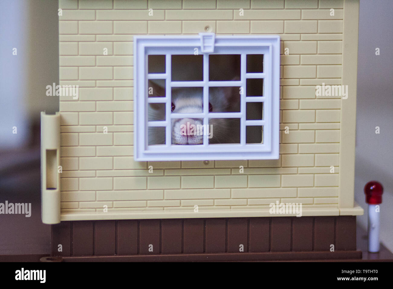 Claustrophobia concept. Mouse in the house. White rat. Look out the window. Mouse fear. Mouse house. - Stock Image