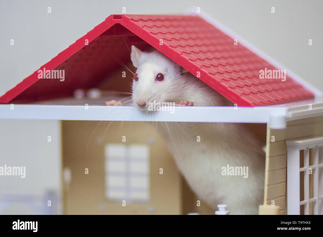 The concept of animal shelter. Accommodation for pets. Apartment for animals. House for rats. House for mice. White rat. White mouse. - Stock Image