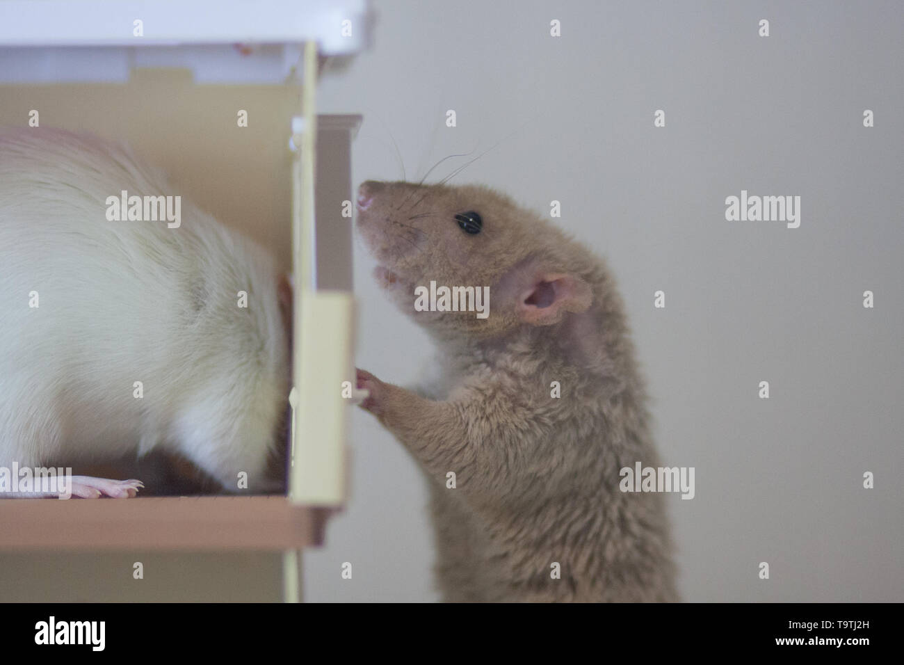 Concealment concept Play hide-and-seek. Mouse hid. Mysterious beast. Gray mouse. White rat. - Stock Image