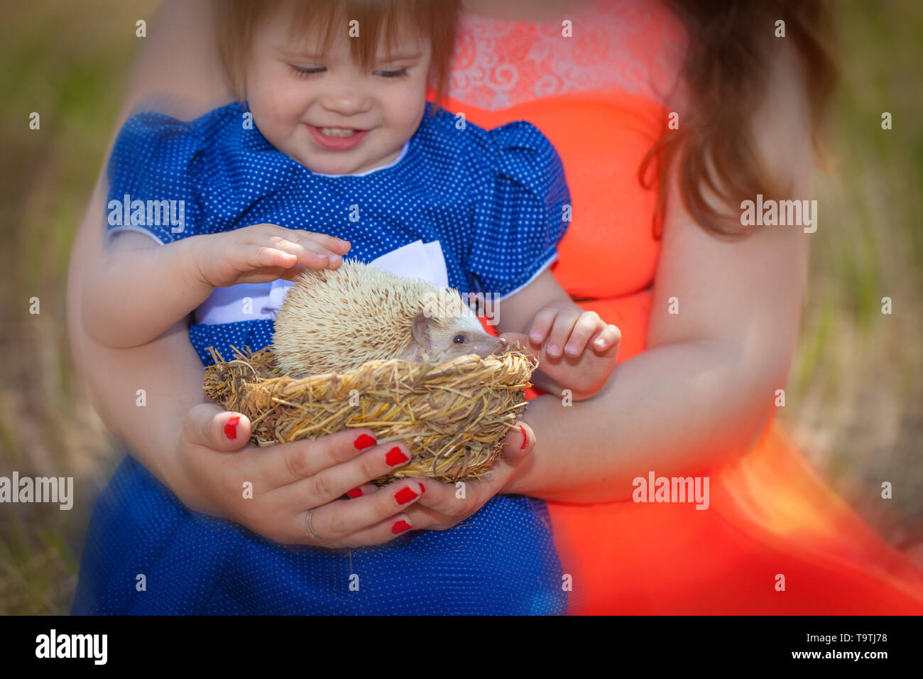 The child touches the spines of the hedgehog. Little girl playing with a pet. African dwarf rodent in a basket. - Stock Image