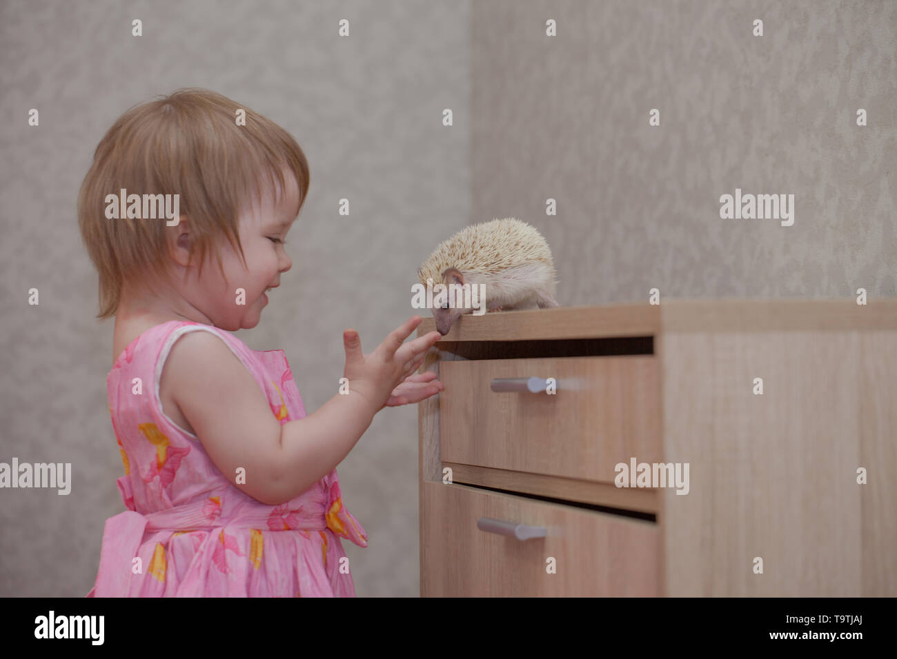 The child plays with a hedgehog. Little girl communicates with the animal. Rodent sniffs baby. - Stock Image