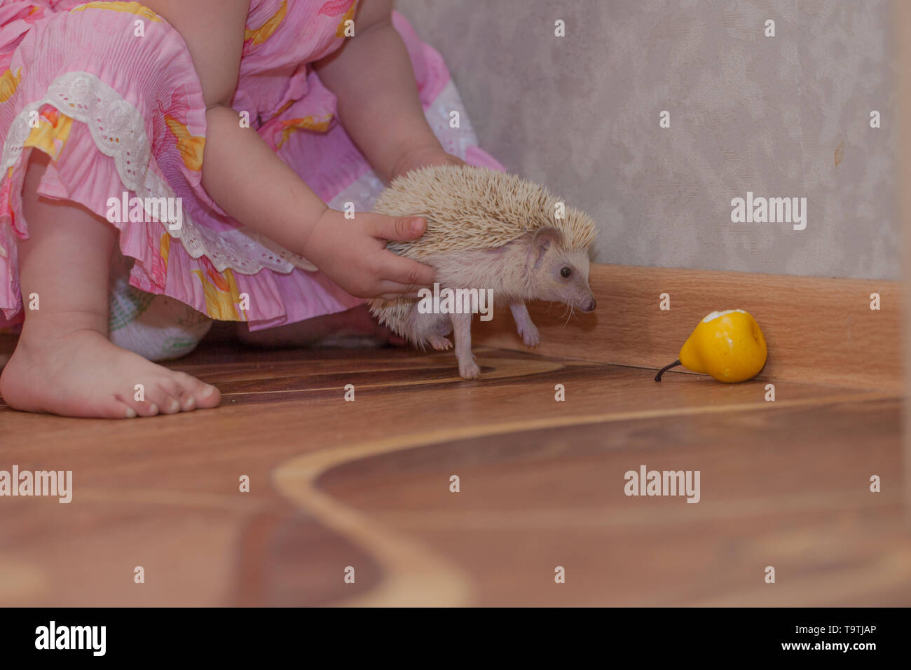 The child is holding a hedgehog. Little girl plays with the animal. Rodent looks at food. - Stock Image