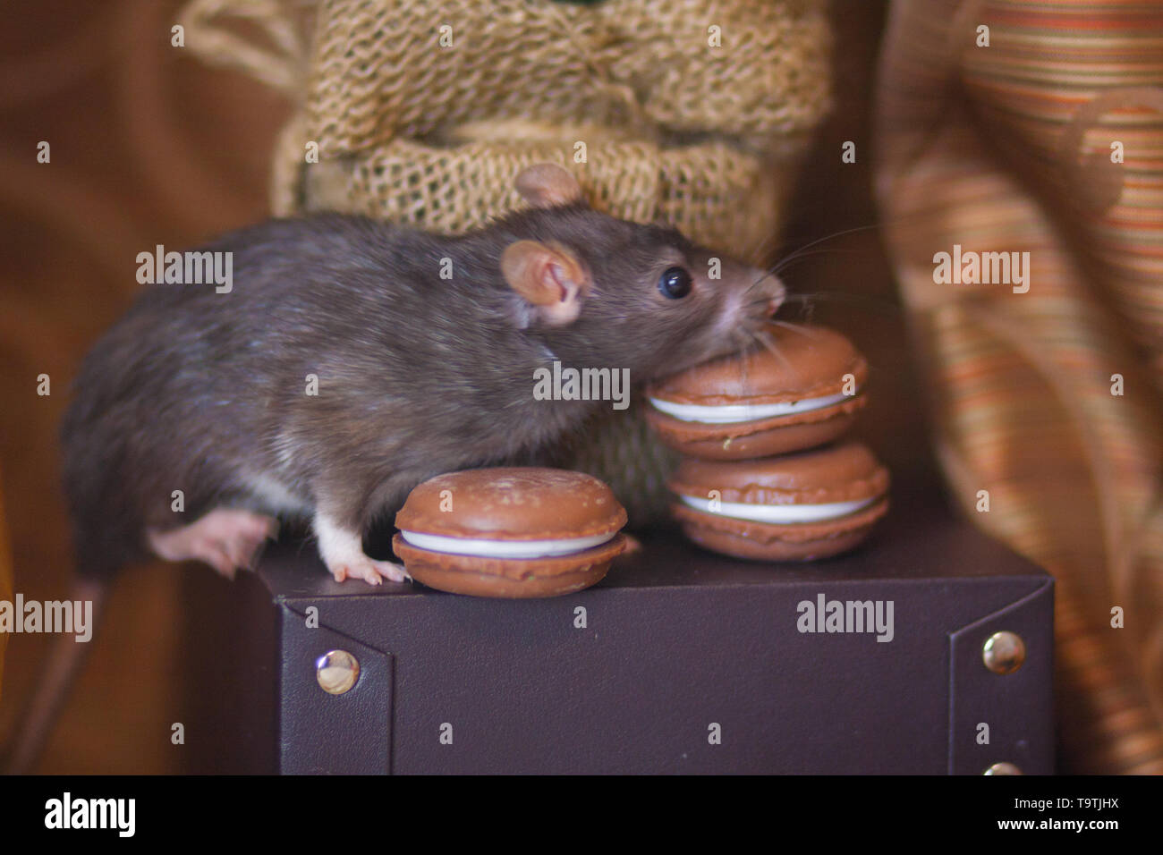 Concept of diet. Rat with sweets. Mouse sniffs food. Rodent with cookies. - Stock Image