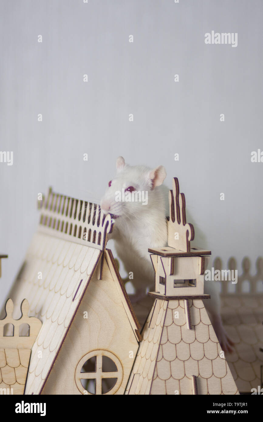The concept of the Nutcracker and the mouse king. White rat in a wooden house. A small Palace and a rodent. - Stock Image