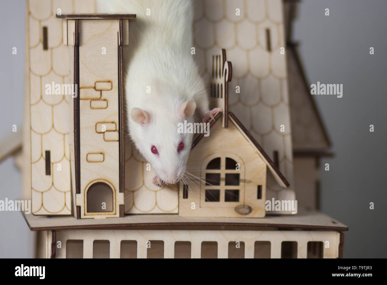 White rat in a wooden house. Mouse Palace. Rodent sitting on the roof. - Stock Image