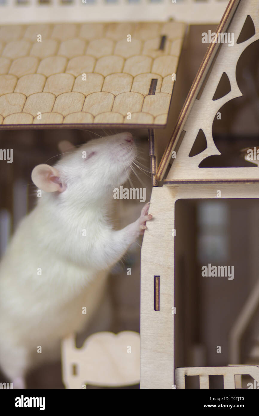 The concept of smell. The white rat sniffs. The mouse closed his eyes and sniffed. - Stock Image