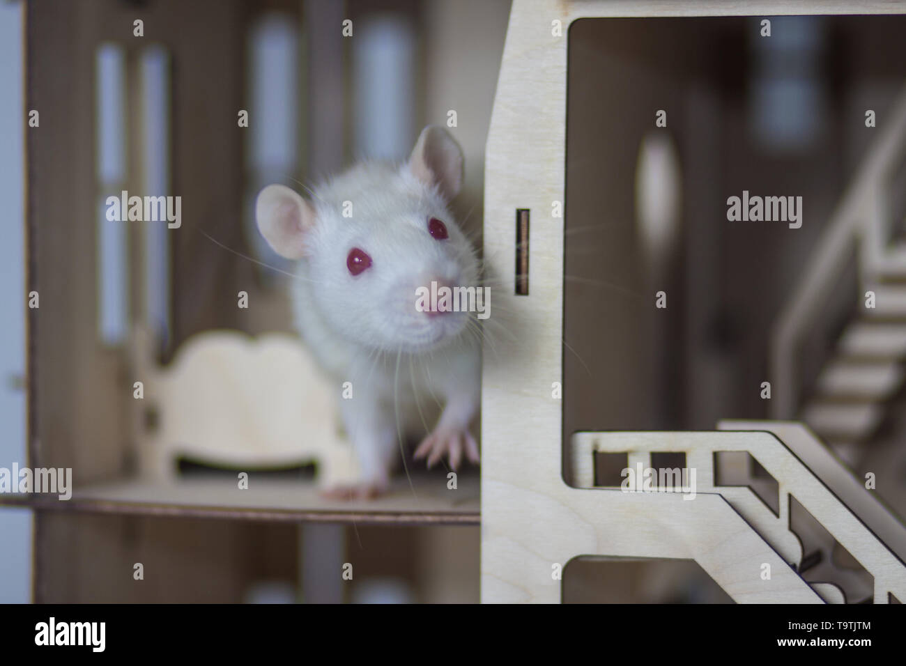 The concept of hiding. White mouse hiding in the house. Rat sitting behind the wall. - Stock Image