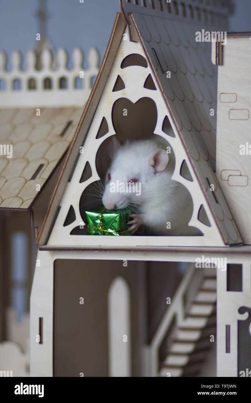 White mouse in a wooden house. Rat with a gift in his paws. Festive rodent. - Stock Image
