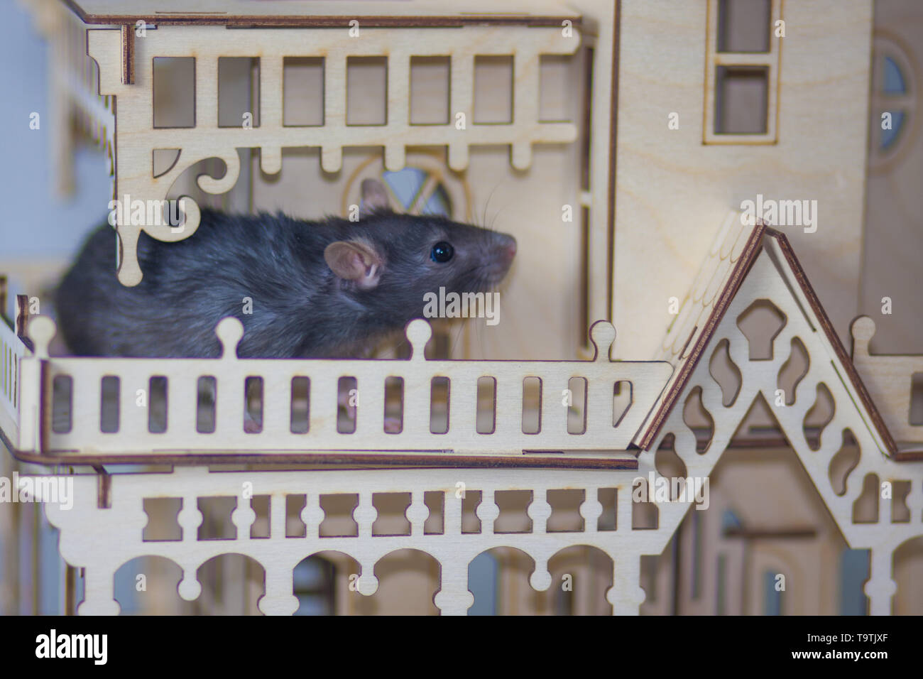The concept of the mouse Kingdom. A gray rat in a wooden house. Rodent in the Palace. - Stock Image