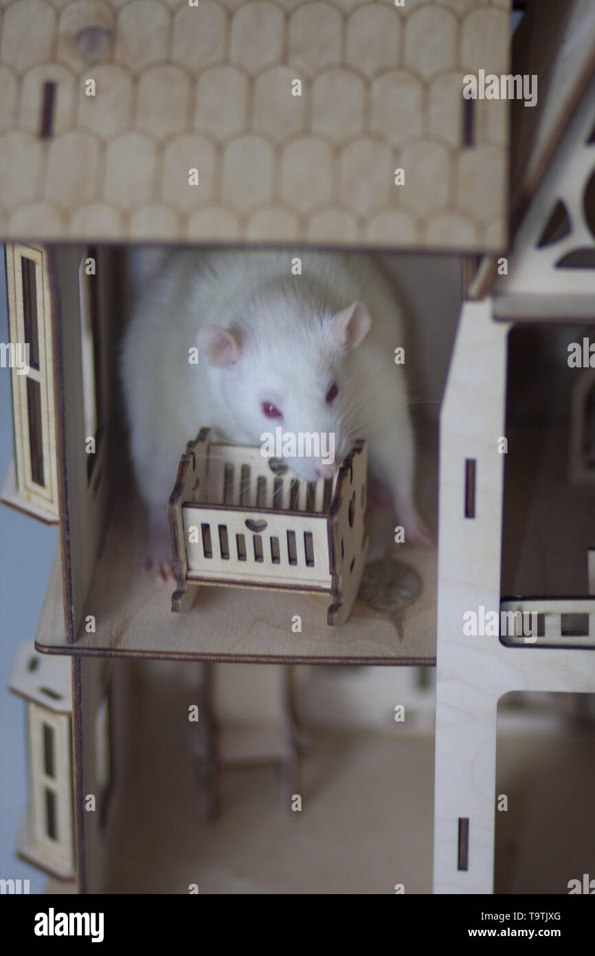 The concept of motherhood. A white rat with a baby cot. Mouse in the house. - Stock Image