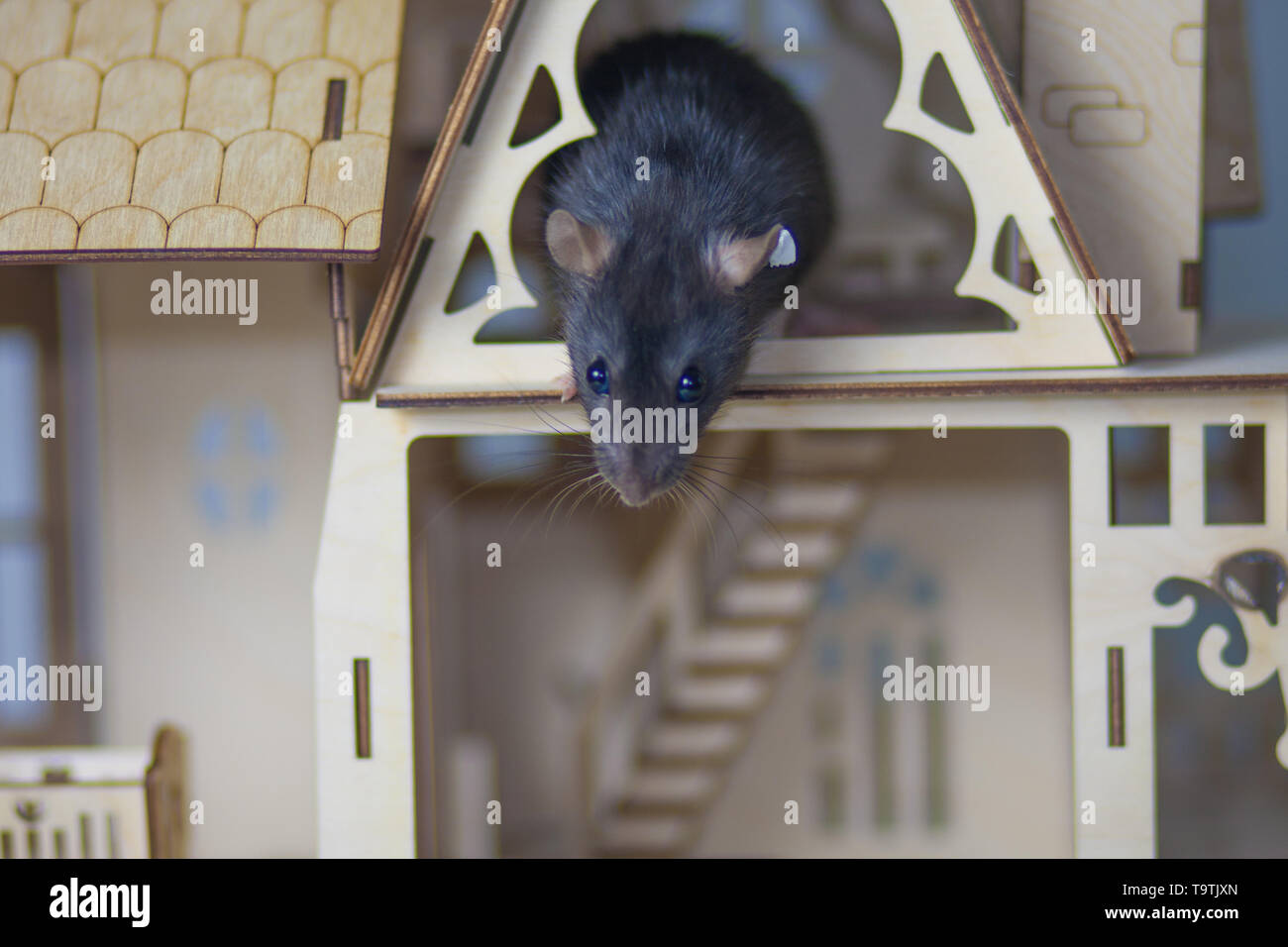 The concept of acrophobia. The gray rat looks down from the roof of the house. The mouse is afraid of heights. - Stock Image