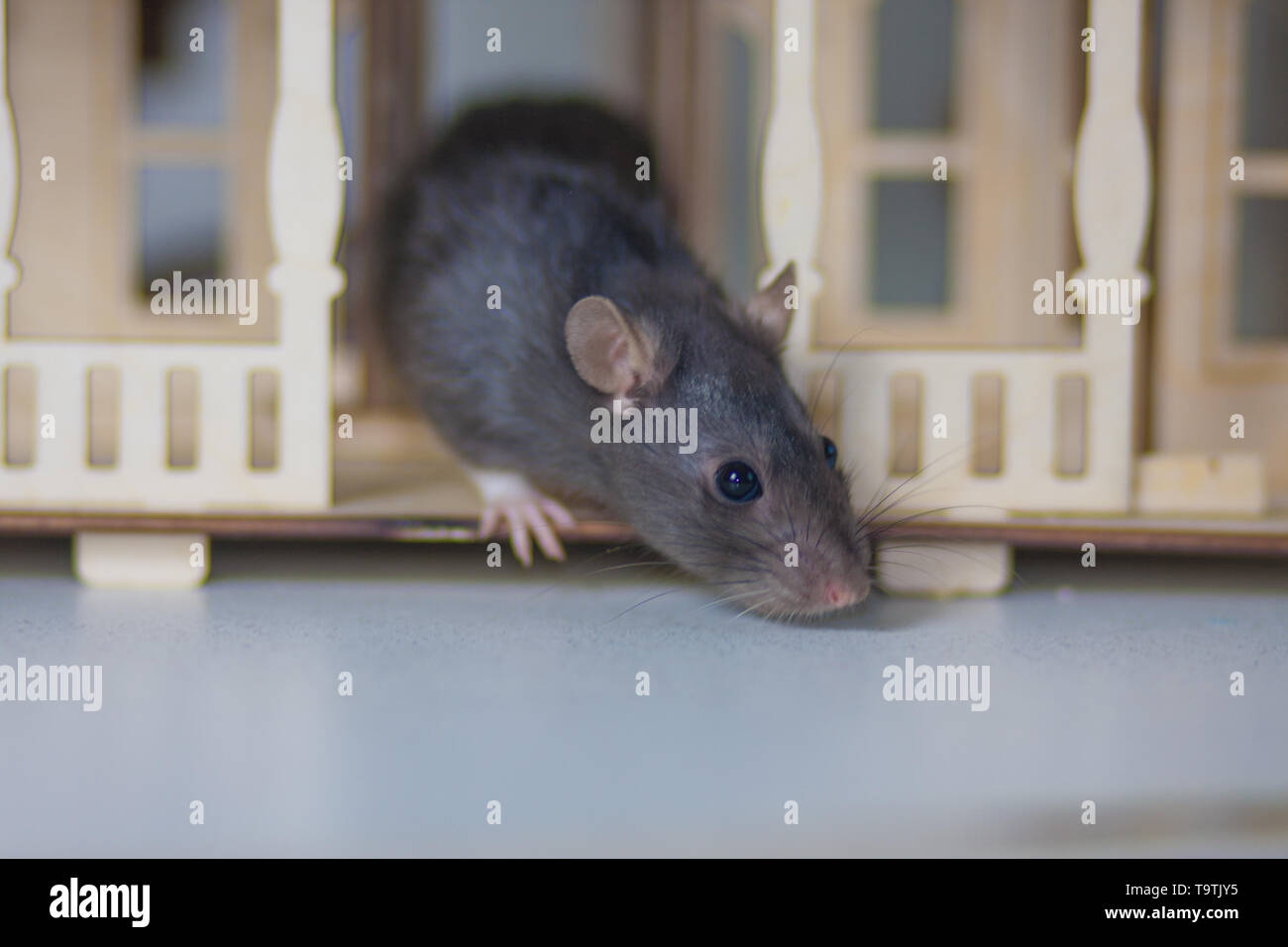 The concept of flair. The gray rat sniffs. The mouse smelled it. Rodent's on the trail. - Stock Image
