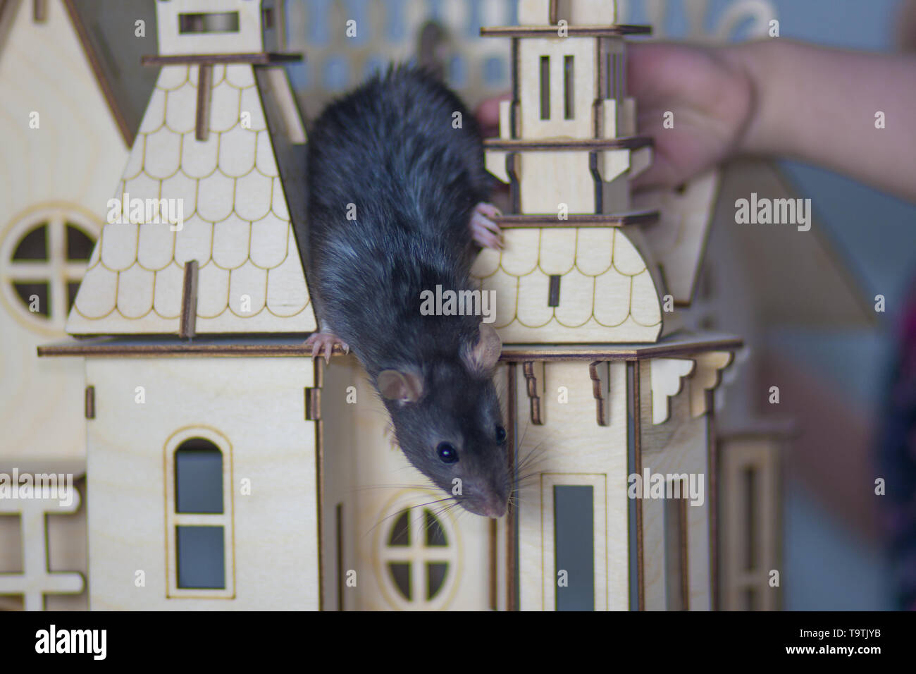 Gray rat sitting on the roof of a wooden house. A mouse in a small castle. Rodent looks down. - Stock Image