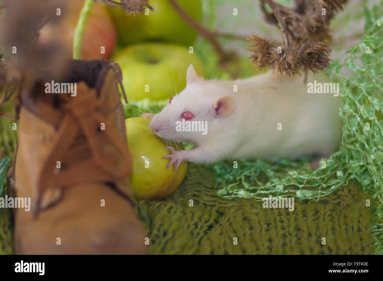 The concept of vintage. White rat with apples. The mouse collects the fruit. Dacha season. - Stock Image