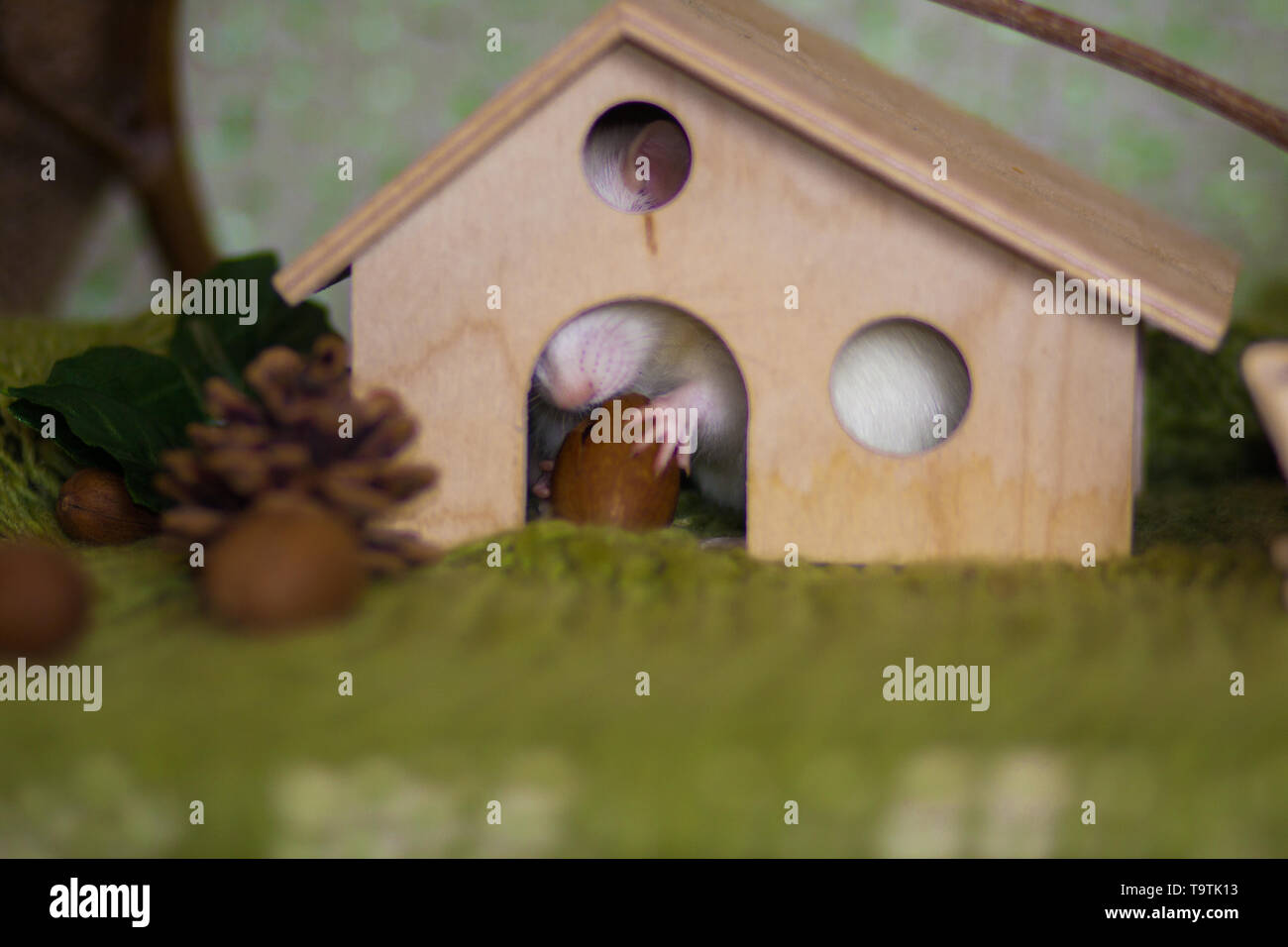 The concept of a cozy home. Rat sitting in the house. The mouse hid in a hole. - Stock Image